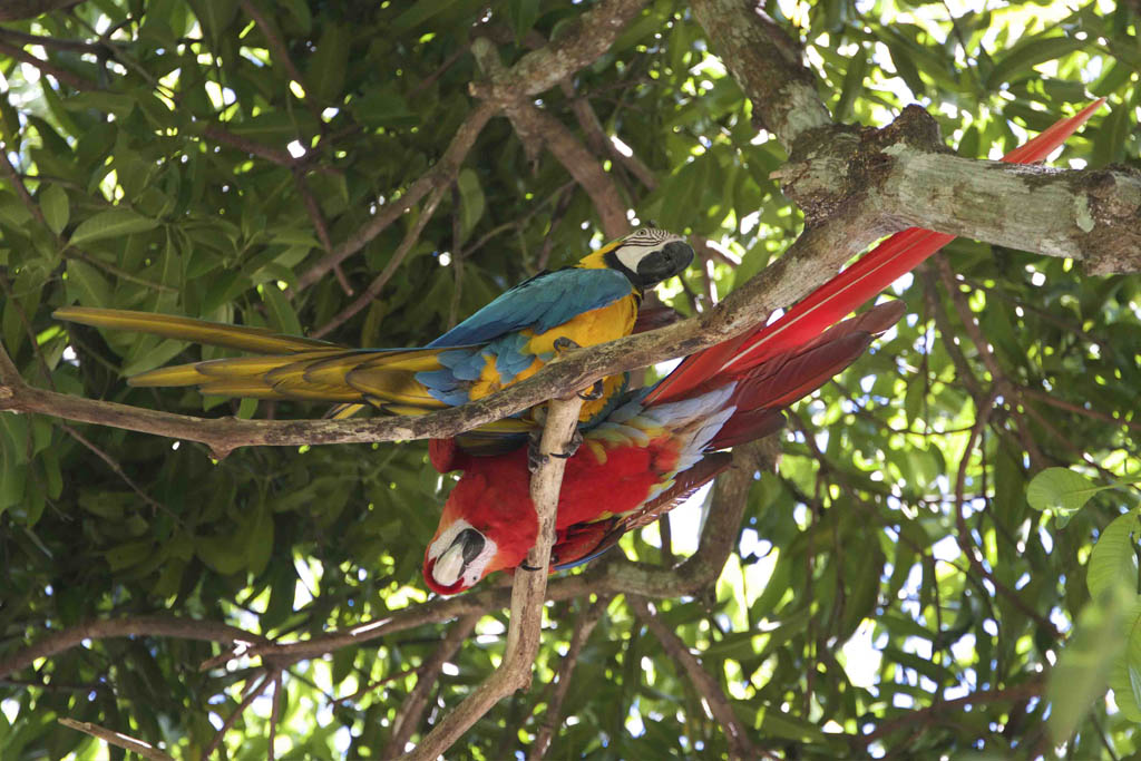 Blågul & ljusröd Ara papegojor