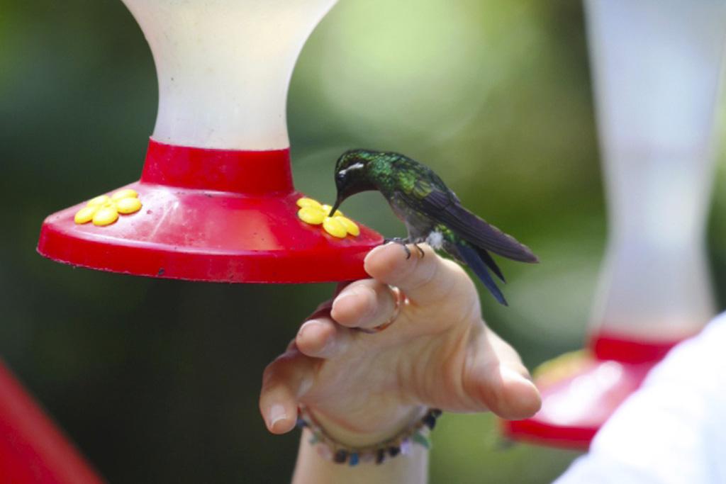 Guide i Monteverde med en Kolibri som dricker sockervatten.