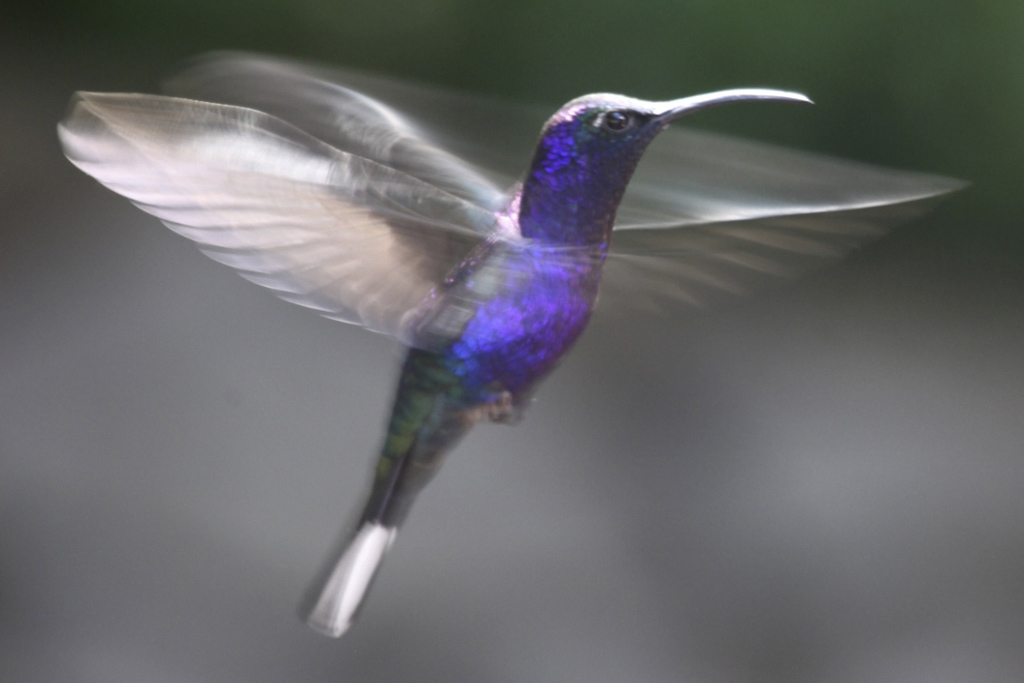 Kolibri, Violett sabelvinge