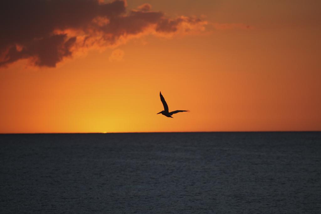 Pelikan i solnedgången Flamingo