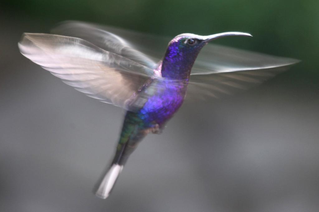 Kolibri Monteverde costa rica