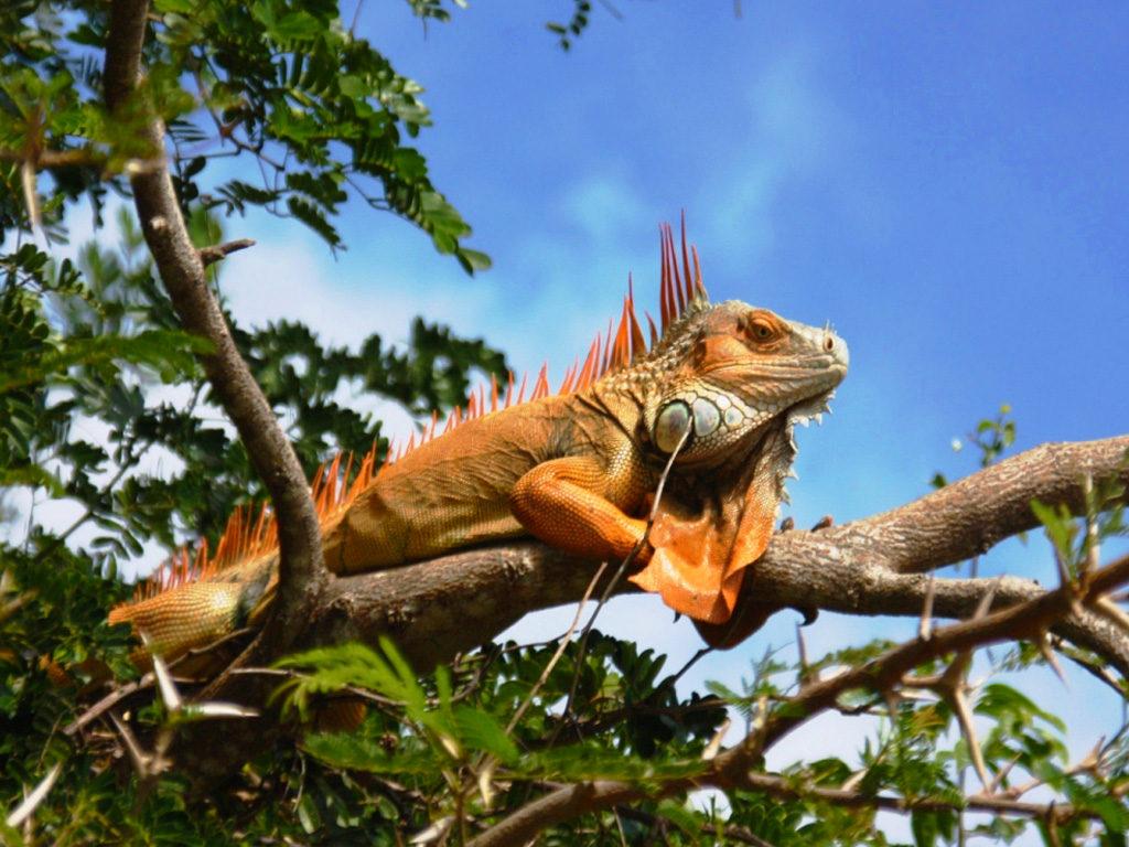Leguan Palo Verde
