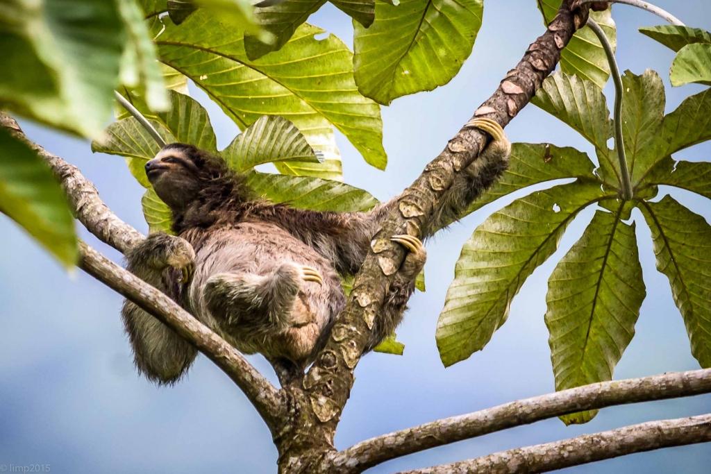 Sengångare Costa Rica