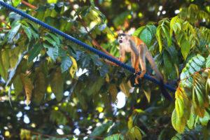 En apa som klätrar över en väg på de nya repen