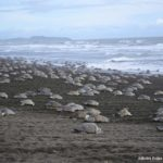 sköldpadda Costa Rica