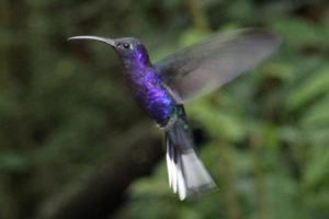 Kollibir Violet Sabrewing