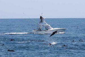 Delfiner som hoppar runt båten