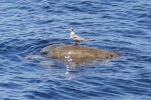 Sköldpadda med en fågel på ryggen