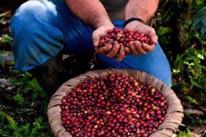 Ny plockade kaffebönor