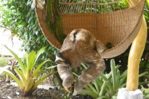 Buttercup sengångare